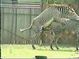 Voyeur bestiality video shows two zebras mating