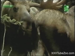 Deer fucking scene in a hot bestiality voyeur video